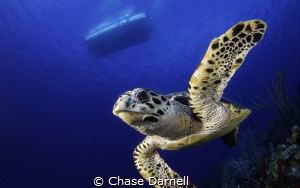 Hawksbill High Five by Chase Darnell
